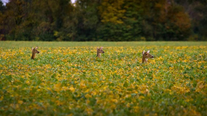 The East Lansing City Council voted this week to authorize culling as a way to reduce deer herds. East Lansing's deer population has been a growing issue since 2011 and became a bigger concern when chronic wasting disease was found in deer in nearby Meridian Township. The fatal illness first was discovered in Michigan in a free-ranging deer in May 2015.