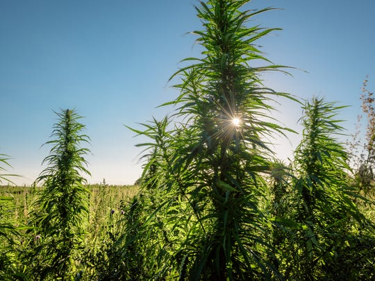 An outdoor hemp grow farm with the sun hidden behind one of the hemp plants.