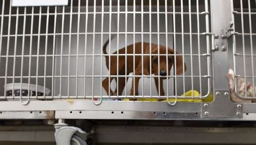 A puppy in a kennel at the Larimer  Humane Society.