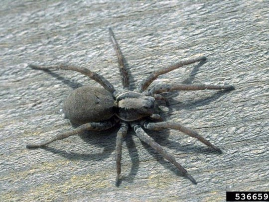 Wolf spiders (Lycosidae) are venomous, but the venom