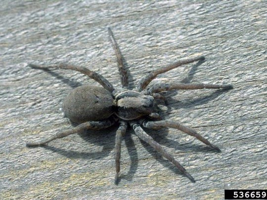 Wolf spiders (Lycosidae) are venomous, but the venom is not very dangerous.