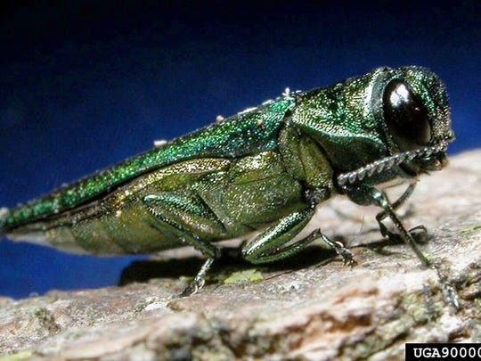 The emerald ash borer is a metallic, coppery-green color and one-third to one-half inch long.