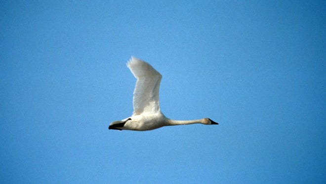 Tundra swans migrate from the northern reaches of the continent to the Atlantic Coast.