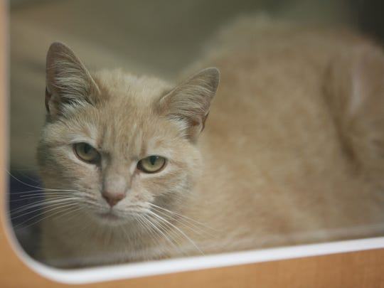 Sunny, a three-year-old short hair mix, rests comfortably Thursday morning at the Delaware SPCA Stanton shelter.