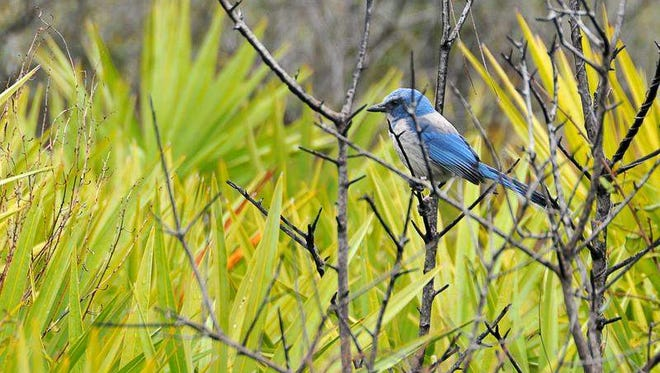 Federal wildlife officials say a plan to build a commercial launch complex in the Shiloh area could jeopardize valuable historic, cultural and natural resources on the Merritt Island National Wildlife Refuge. A Florida scrub jay sits on the limb of a scrub oak in an area of flatwoods scrub.