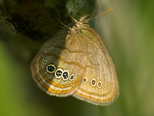 635653060125552542-Mitchell-satyr-butterfly