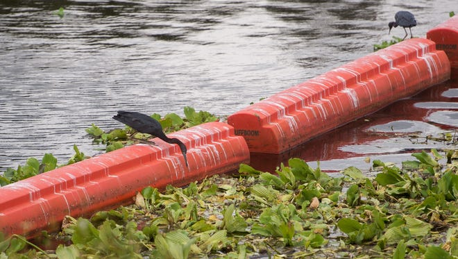 Little blue heron look for food in vegetation in the C-24 Canal, that was cleaned of a fish kill earlier by South Florida Water Management District crews, Wednesday, Sept. 20, 2017, near Southwest Dalton Circle in Port St. Lucie.