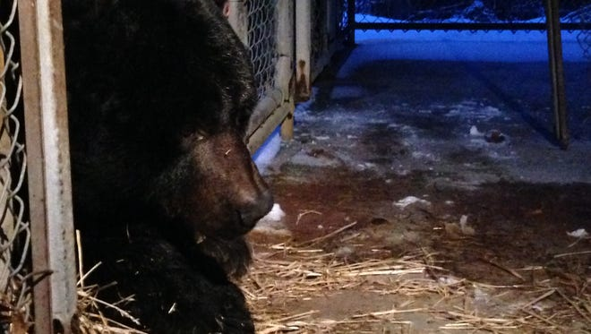 Jeff and Debbie Gillium of Lodi, Ohio, have owned their 39-year-old pet bear, Archie, since he was 6 years old.