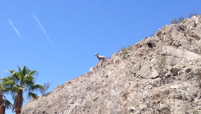 A Peninsular bighorn sheep wandered into the area of Highway 111 and Washington Street in La Quinta Tuesday.