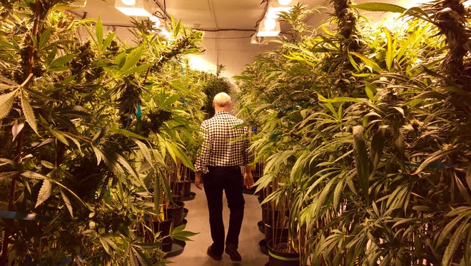 John Brady, the senior vice president of strategy and R&D for Rx Green Solutions walks among towering plants growing in the company's grow lab in Denver, Colo. on June 9, 2015.