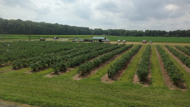 Bennett Orchard's blueberry farm. The farm is participating in Bayer CropScience's Feed a Bee program.
