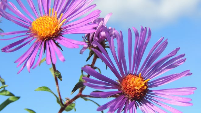 Asters provide a rich source of nectar and pollen for migrating monarchs and hummingbirds and provide gardeners with a massive display of late color that will last until Halloween and beyond.