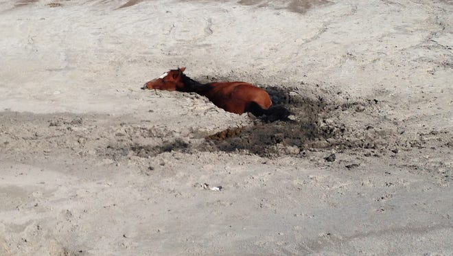 This horse was caught in a sludge pit at the Southeast Connector site before fences were installed in the area but later escaped. Someone is now opening gates which could allow more horses to enter the hazard.