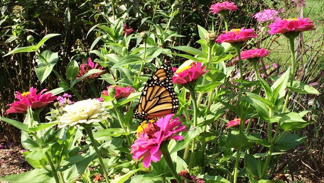 A monarch butterfly rests on one of the zineas in Don and Joy Gustafson's formal flower garden.