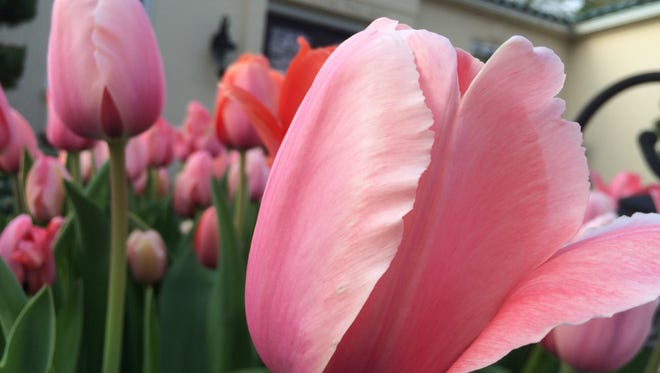 Tulips planted by Jim Cuifolo, who is also known as Jimmy Tulip. Cuifolo says in spring, tulips 'sing to us.'