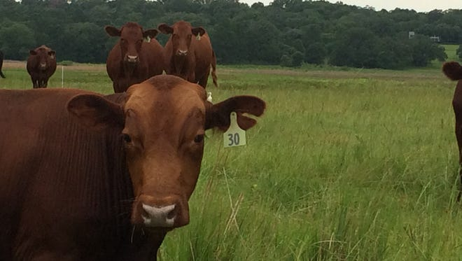 A cow standing in the middle of Madison County's State Road 53 Monday night sent a woman's car careening into an oak tree.