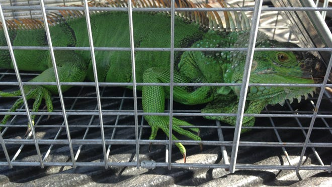A green iguana was captured Monday afternoon on a Cocoa Beach dock.