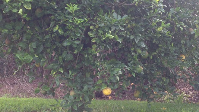 This week it's backyard to fork, and we are using up ponderosa lemons.