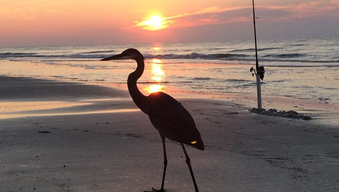 Chuck Reese sent this photo from a recent surf fishing expedition at Johnson?s Beach on Perdido Key. ?I got to share the beach with a very persistent blue heron for a couple hours, starting just before sunrise,? Reese wrote. ?He could tell when I had a fish on the line or was just retrieving the line to check my bait. It was very pleasant way to spend a couple hours on the beach.?
