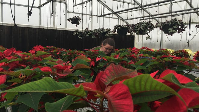 Mackenzie McCombs inspects poinsettia plants inside the greenhouse at Hillcrest High School in Simpsonville.