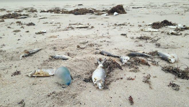 Fish were decomposing Wednesday next to a Portuguese man o' war at Bicentennial Beach Park in Indian Harbour Beach.