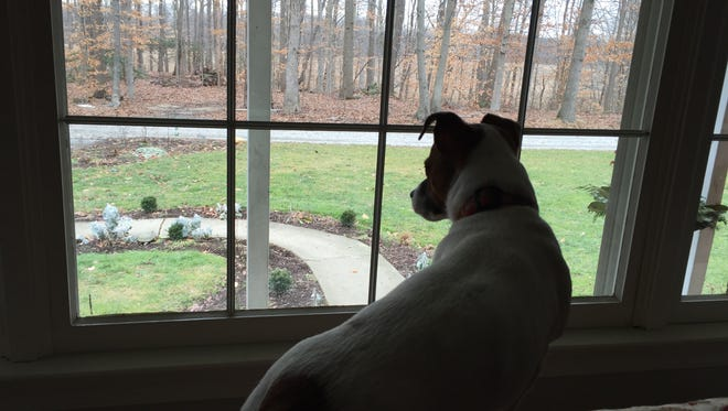Colby the Jack Russell terrier watches the squirrels running around in the woods.