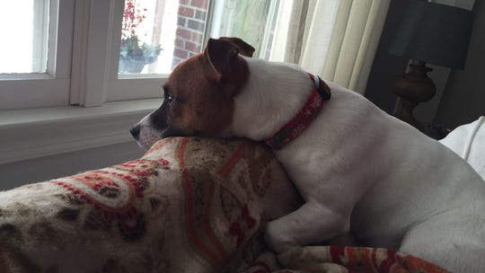 Colby the Jack Russell terrier rests his head on the