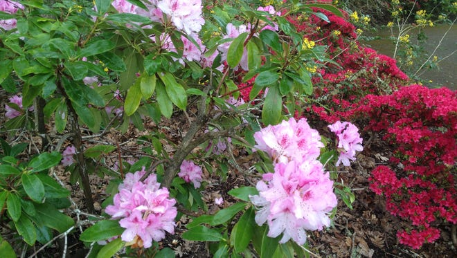 Prune out the largest stalks on a rhodendron after bloom down to the base.