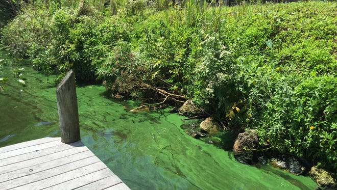 What's likely a cyanobacteria bloom taints the Caloosahatchee at the Alva dock