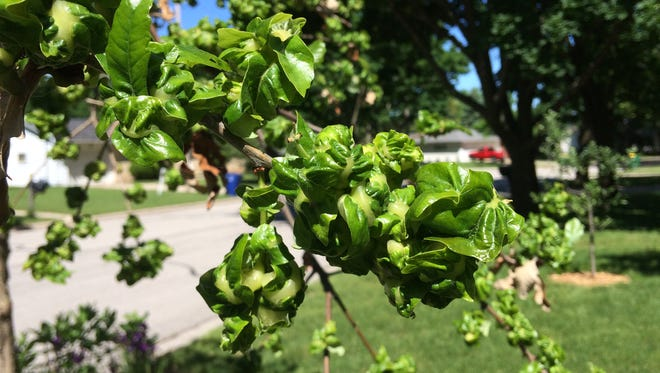 Oak galls on swamp white oak leaves.