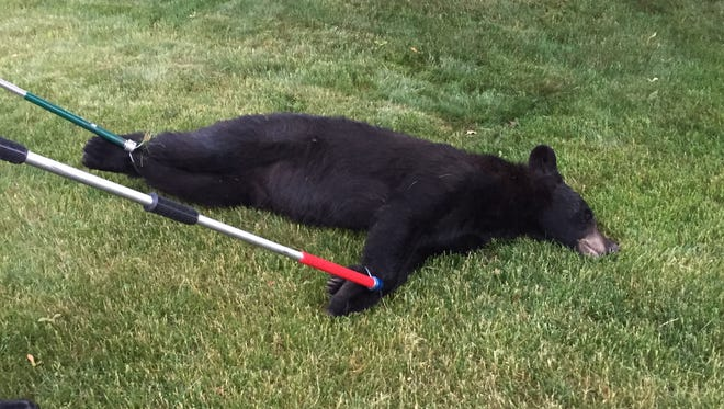 A 250 pound black bear was captured on Sheboygan's north side Tuesday morning.