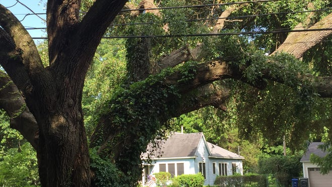 "An oak in the Broadmoor neighborhood that was ""V-cut"" to allow for power lines."