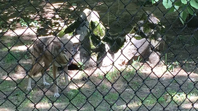 A female red wolf overcomes her shyness of humans as she appears to collect treats from a staff member.