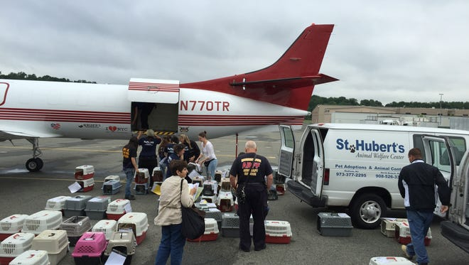 Staff and volunteers from St. Hubert's Animal Welfare Center transfer 133 dogs from a Wings of Rescue flight from California to Morristown Municipal Airport Saturday in Hanover.