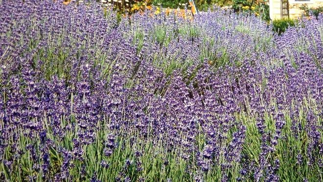 Lavender flowers in bloom at Lavender Fields farm in Milton, Delaware.
