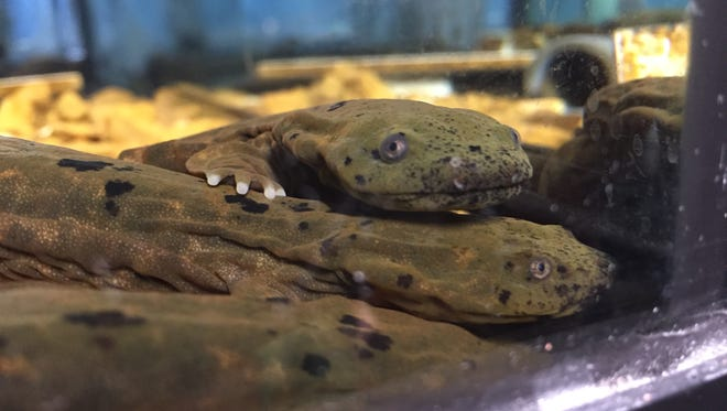 A hellbender held for processing after being captured during monitoring surveys.