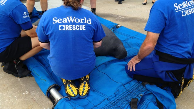 SeaWorld staff released a 530-pound male manatee Tuesday at Eau Gallie Yacht Club. The manatee recovered at SeaWorld Orlando after a hook was removed from its throat.