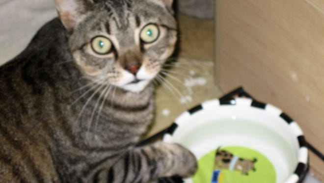 Jake: Oh, my! You caught me putting one front paw into the water bowl while I drink. I must admit it's a quirky habit of mine. My owner went into assisted living, so I came here. I'm used to other cats and dogs and sure would like a home of my own again.