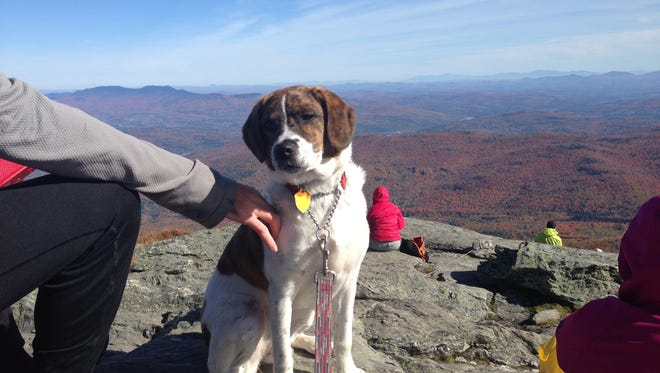 Free Press newshound Junebug enjoys outdoor time on a leash on Oct. 15, 2016, at the summit of Camels Hump.