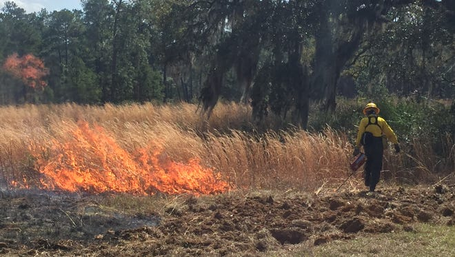 A fire professional helps start a prescribed burn during the inaugural Red Hills Fire Festival at Tall Timbers Sunday.