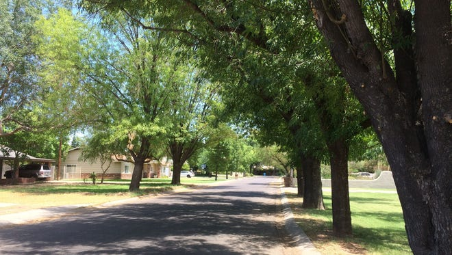 Ash trees lining Tuckey Lane in Phoenix near 15th Avenue, south of Glendale Avenue, make a shady path.