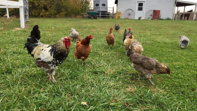Chickens roam on Stephanie Peterson's acreage.