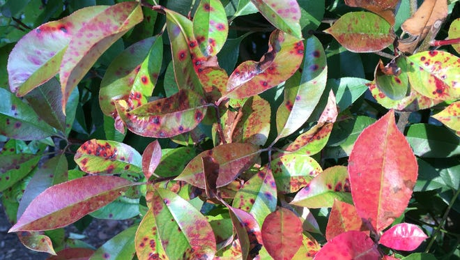 When Entomosporium leaf spot attacks red tip photinias or Indian hawthorn, first you will see brown spots, then pale leaves, then white leaves that will then scorch and die. There is no treatment. Eventually the shrubs must be replaced with some other species.