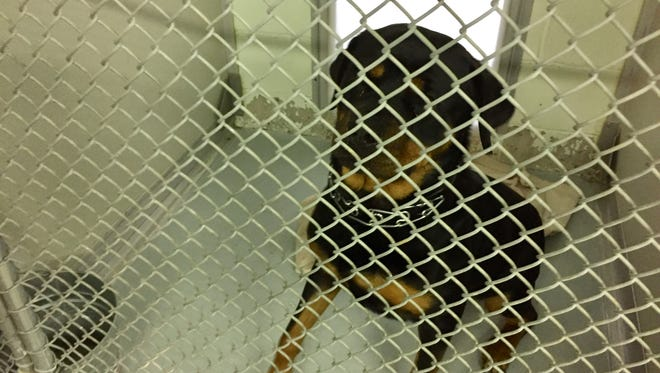 This female rottweiler is impounded at the Parsippany Animal shelter after a police confrontation with its owner, which resulted in the owner's arrest.