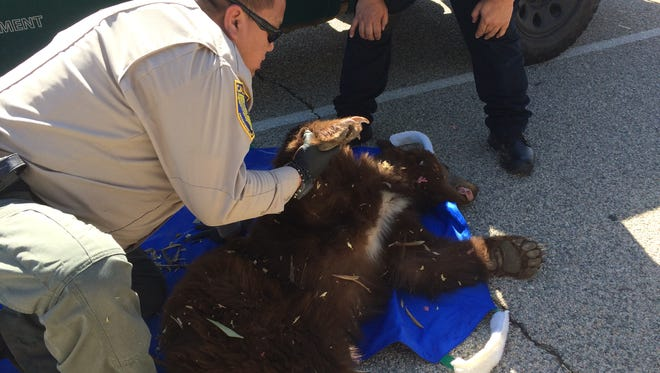 California Department of Fish and Wildlife Lt. Supervisor Kyle Chang checks a bear after it was sedated with a tranquilizer dart Sunday. Animal officials caught it after it wandered into an Indio neighborhood north of Interstate 10.