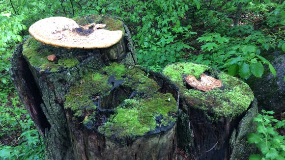 Mushrooms on stumps, with moss.