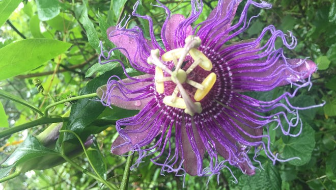 For all their psychedelic beauty, passionflowers come from a hardy native Florida vine.