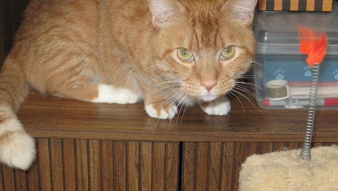 Tigger is a big and handsome guy, looking for a buddy to hang out with.
