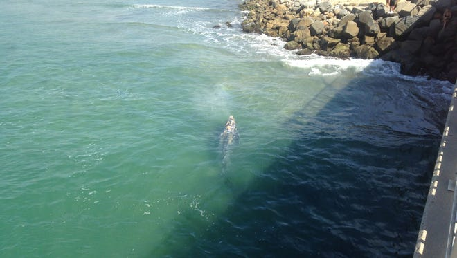 In this photo from early August, a juvenile California gray whale swims near Tamarack Beach and the Agua Hedionda lagoon entrance in Carlsbad.