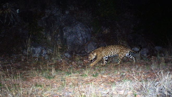 This new image of a jaguar in the Chiricahua Mountains of southern Arizona appears to confirm the cat is a male, the Arizona Game and Fish Department said Friday.